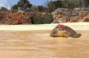 tortue verte équipée d'une balise à St Martin crédit photo Julien Chalifour