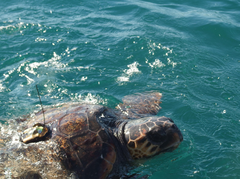 la tortue est prête à plonger