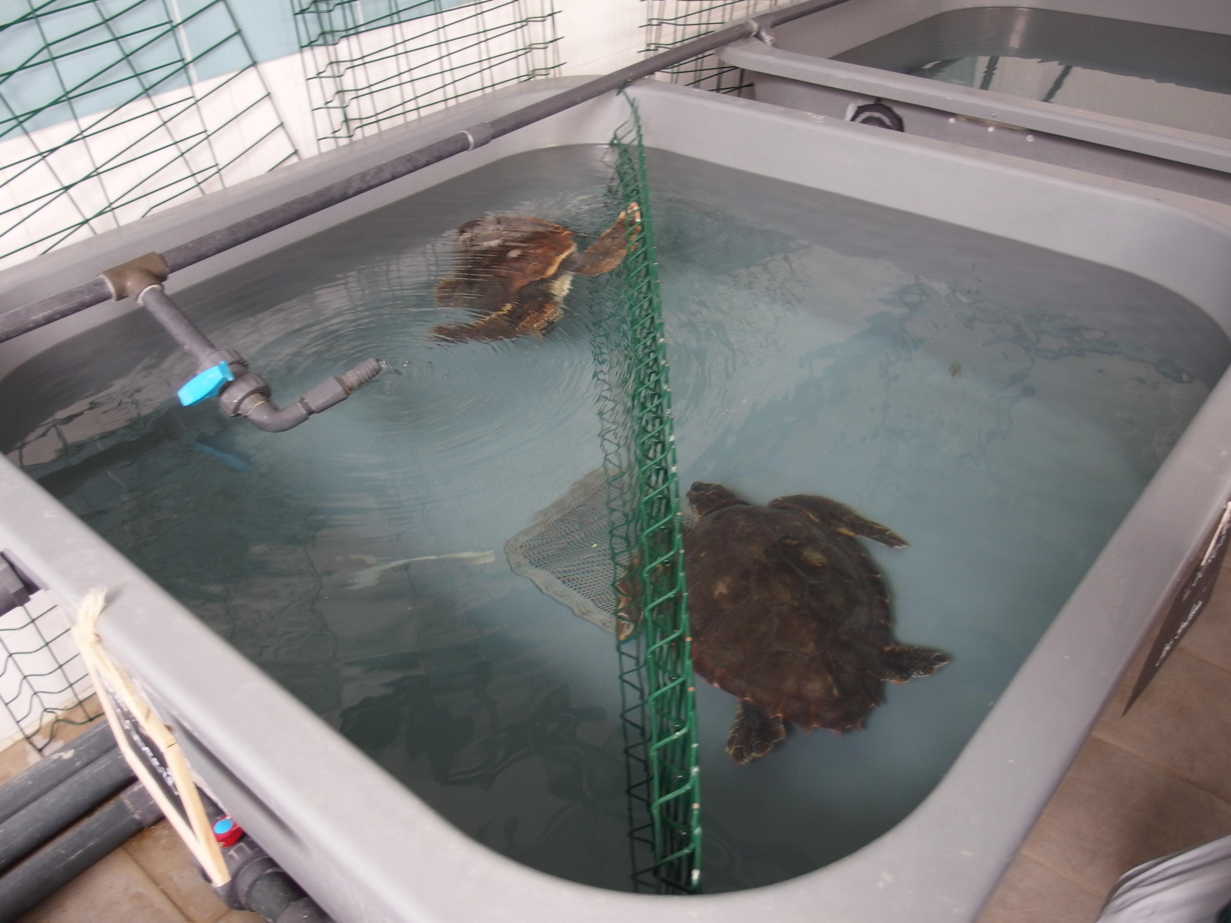 les bassins sont divisés en raison de l'afflux important de tortues marines cette année